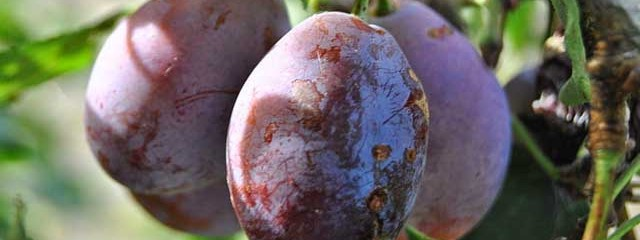 Eating Prunes Can Help Weight Loss