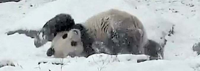 Panda-monium: Giant Panda Frolics in Snow at the Toronto Zoo