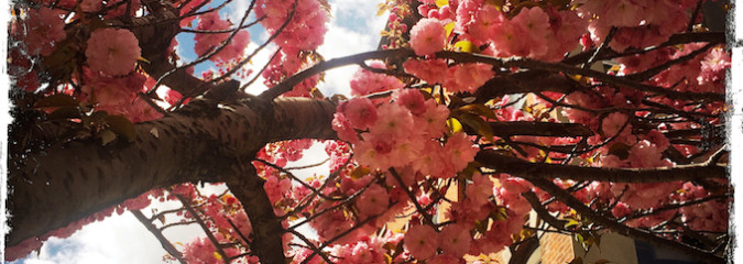 Be the Cherry Tree – Living in Sync With Nature