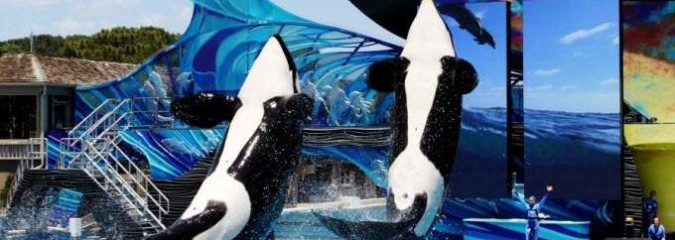 SeaWorld to End Orca Shows—But Not Captivity of These Incredible Creatures
