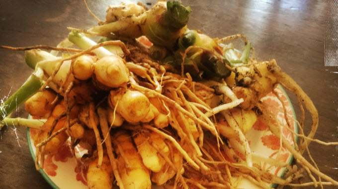 Ginger and Turmeric – Super Roots to the Rescue!