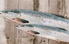 What Does FDA-Approved GMO Salmon Really Mean for Our Health?