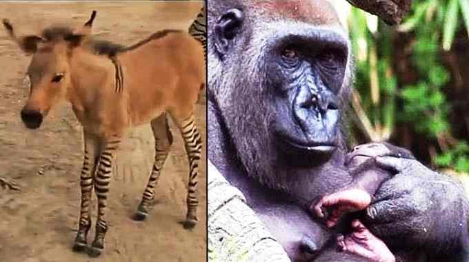 Rare Zonkey Zebra Donkey Born In Mexico Two Baby