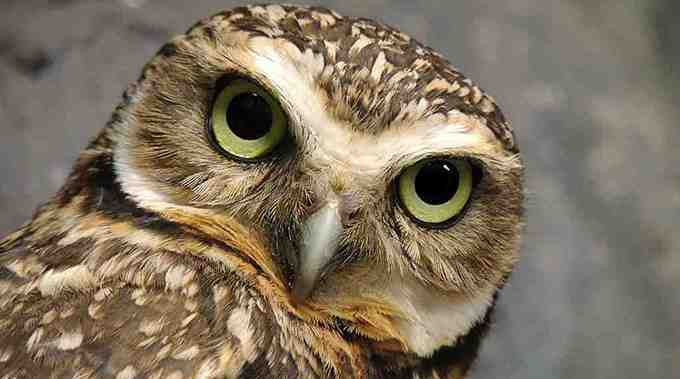 Tantra Massage Owl