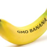 GMO Bananas to Boost Vitamin A Arrive for First Test in Iowa