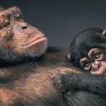 Chimpanzee Debate: Should Animals Have Human Rights?