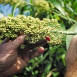 5 Nutritional Benefits of Gluten-Free, Super Grain Sorghum Flour