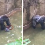 New Footage Shows Gorilla Holding Hands With 3-Yo Before Being Killed [Watch]
