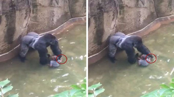 New Footage Shows Gorilla Holding Hands With 3 Yo Before