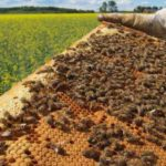 37 Million Bees Instantly Dropped Dead After Farms Started Spraying Neonicotinoids On GMO Crops