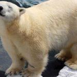 "Polar Bear Dies of a ""Broken Heart"" After SeaWorld Ships Off Her Best Friend of 20 Years"