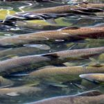 Farmed Salmon Industry Causing Global Sea Lice Crisis